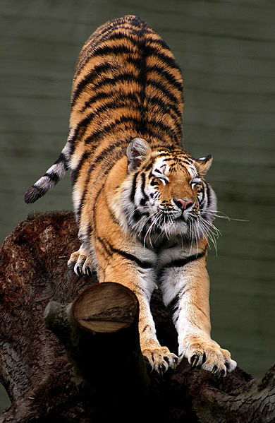 390px-Siberian Tiger by Malene Th